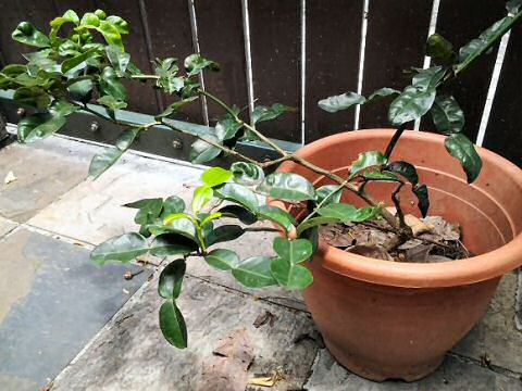 Groei je eigen kaffir limoen in een bloempot