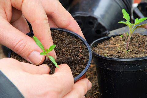 Tomaten planten