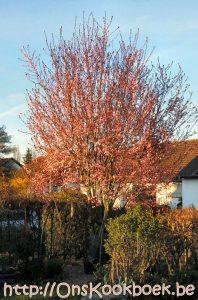 Lente pruimenboom bloesem